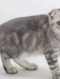 宜宾英短蓝猫 渐层 蓝白 美短虎斑 起司 折耳(包纯种健康)