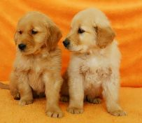 西安狗狗之家长期出售高品质金