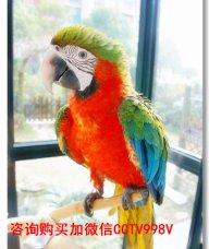 鹦鹉出售,购买鹦鹉,鹦鹉养殖场,长期批发出售各种大型鹦鹉