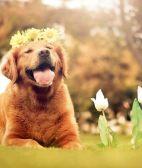金毛寻回犬吃什么 肉类食品是必不可少的