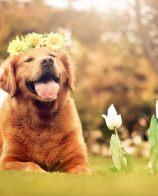 金毛寻回犬的特点 金毛犬喜欢玩耍和撒娇