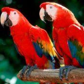 绯红金刚鹦鹉2