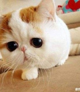 佛山哪里有卖加菲猫多少钱一只纯种加菲猫好养吗已做好疫苗
