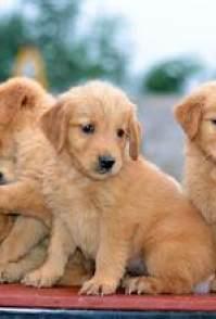 长沙哪有金毛幼犬出售