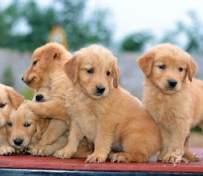 西安宠物店出售金毛幼犬