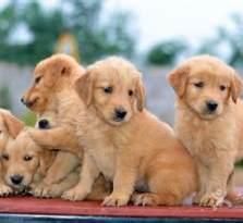 专业繁殖的纯种超可爱保健康金毛狗狗正在热销中