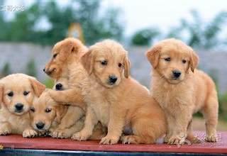 无锡宠物狗专卖店出售金毛