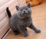 苏格兰折耳猫 金吉拉猫 布偶猫 蓝双 海双(包纯种