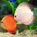 观赏鱼疾病分为哪几类
