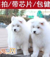 深圳哪里有健康的萨摩耶买 深圳萨摩耶狗场 萨摩幼犬多少钱一只