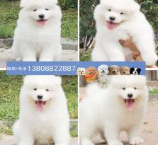 广州萨摩耶狗场 广州出售萨摩耶小狗
