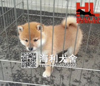 纯种日本柴犬