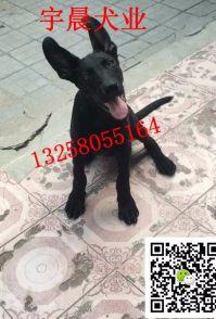 哪里有卖大骨架的黑狼犬幼犬的小黑狼犬价格图片