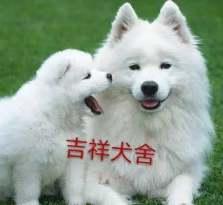 萨摩耶血统狗狗 萨摩耶多少钱只 正规养殖宠物狗