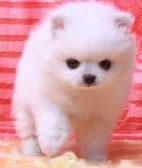 超萌纯种哈多利球形博美幼犬粉雕玉琢包健康包活