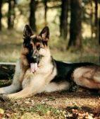 德国牧羊犬25天该怎么饲养 德牧喂食选择