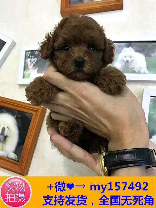 西双版纳出售各类名犬,喜欢的加微信私聊