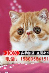 我们有各种纯种猫咪