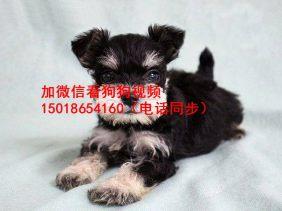广州正规狗场出售雪纳瑞幼犬