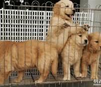 沈阳宠物店出售金毛