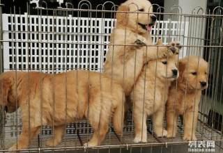 金毛幼崽-南京名犬