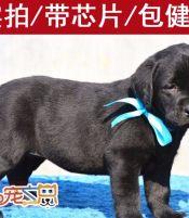 深圳哪里有纯种拉布拉多犬买 拉布拉多幼犬多少钱一只 深圳狗场