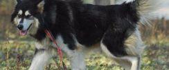 阿拉斯加等二十多种宠物狗 500元 起售