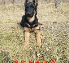 德国牧羊犬出售