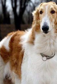 金毛寻回犬分几类 可以分为英系和美系