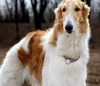 金毛寻回犬分几类 可以分为英