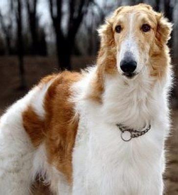 苏俄猎狼犬