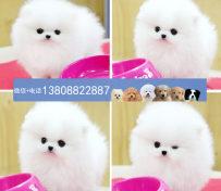 广州博美狗场 广州出售博美犬