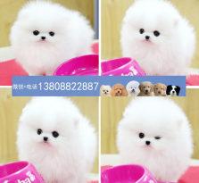 广州博美狗场 广州出售博美犬 广州哪里有卖博美犬