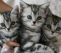 专业繁育纯种美国短毛猫 美短