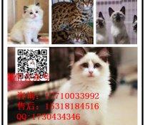 亚洲豹猫报价