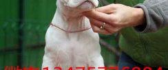 纯种杜高犬幼犬价格图片 三个月的杜高犬幼犬多少钱一只
