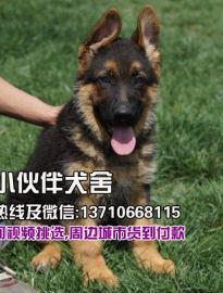 深圳哪里有卖德国牧羊犬 深圳哪里有卖狗 哪里有狗场