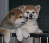 出售纯种秋田幼犬宝宝,欢迎大