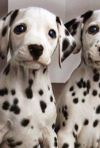 精品斑点狗犬幼犬 出售纯种活体大麦町斑点狗 家养宠物狗狗
