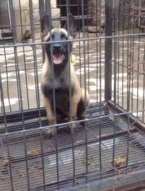 自家犬舍繁殖马犬包纯种健康可以上门视频挑选