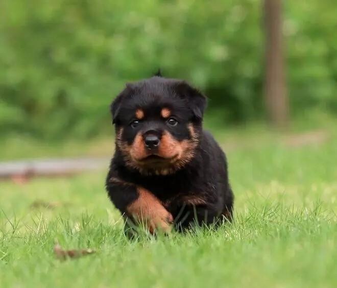 大型犬罗威纳犬出售  罗威纳防暴犬 纯种健康 价格