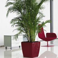 大型植物-散尾葵