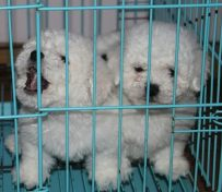 重庆出售比熊幼犬 重庆哪里卖
