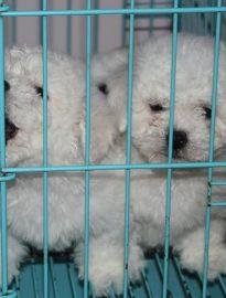 重庆出售比熊幼犬 重庆哪里卖纯比熊犬 重庆卖比熊