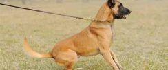 多少钱一只健康马犬幼崽,怎么驯养马犬,马犬价格多少