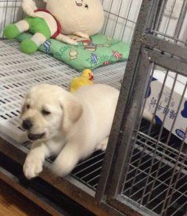 北京本地犬舍繁殖精品拉布拉多 可上门亲自挑选,,多只可选择