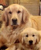 重庆出售可爱金毛犬