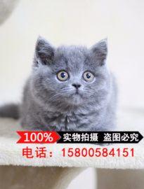 本猫舍出售各种纯种猫咪