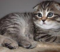 金吉拉猫的性格 金吉拉猫有时
