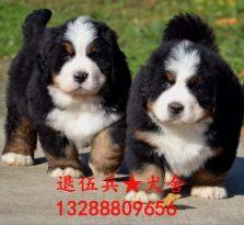 伯恩山幼犬出售
